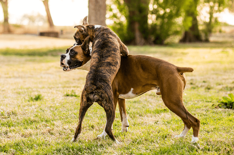 Brindle and Fawn Boxer Dogs