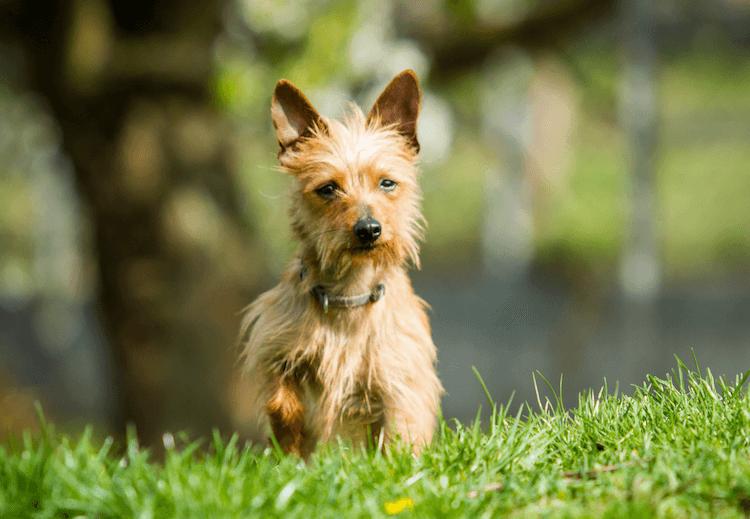 Chi Terrier