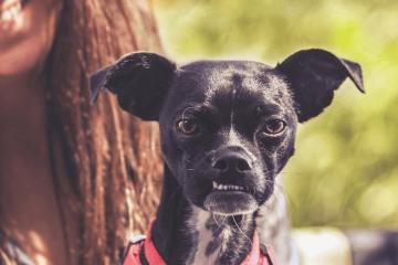 40 Chihuahua Mix Breeds: Charming, Sassy & Mighty Mixes