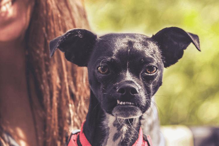 Chihuahua Mix Social