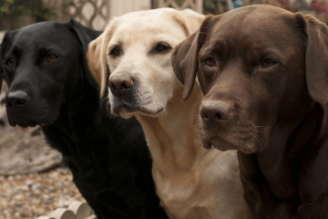 Labrador Retriever Price, Ownership Cost & Buying Guide