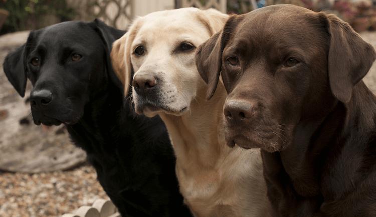 Labrador Retriever Price Social