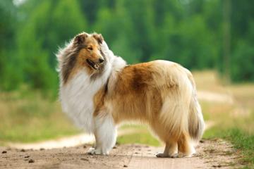 Types Of Shepherd Dogs: 20 Shepherd Dog Breeds