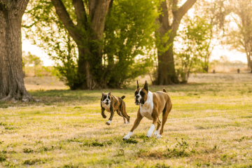 Types of Boxer Dog Breeds & Colors: American, UK & German Boxers