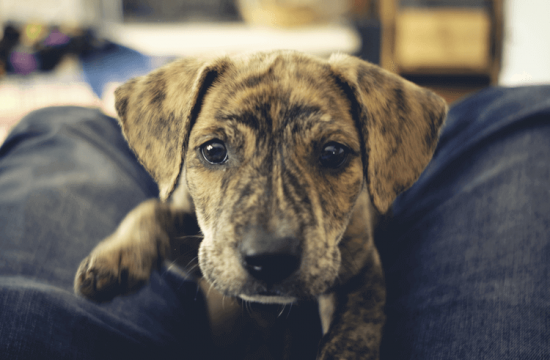 30 Brindle Dog Breeds: Best Dogs With Brindle Coats