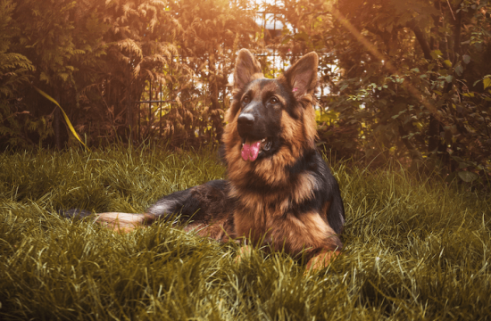 Long Haired German Shepherd Differences, Coat & Controversy