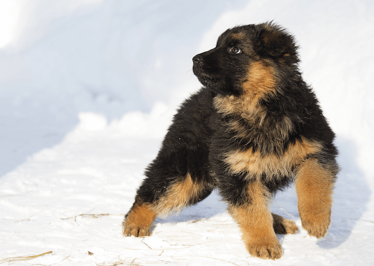 Long Haired German Shepherd Puppy