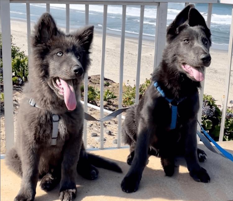 blue shepherd dogs