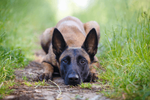 Belgian Malinois vs German Shepherd Social