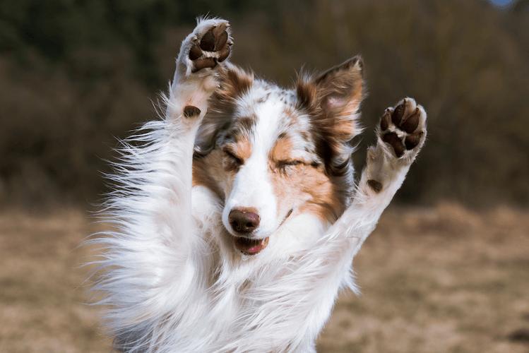 Border Collie Dog Standing