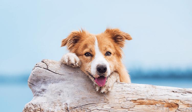 Girl Border Collie Puppy