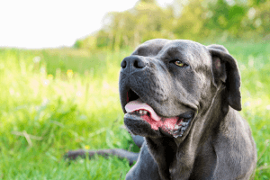 How Much Is A Cane Corso