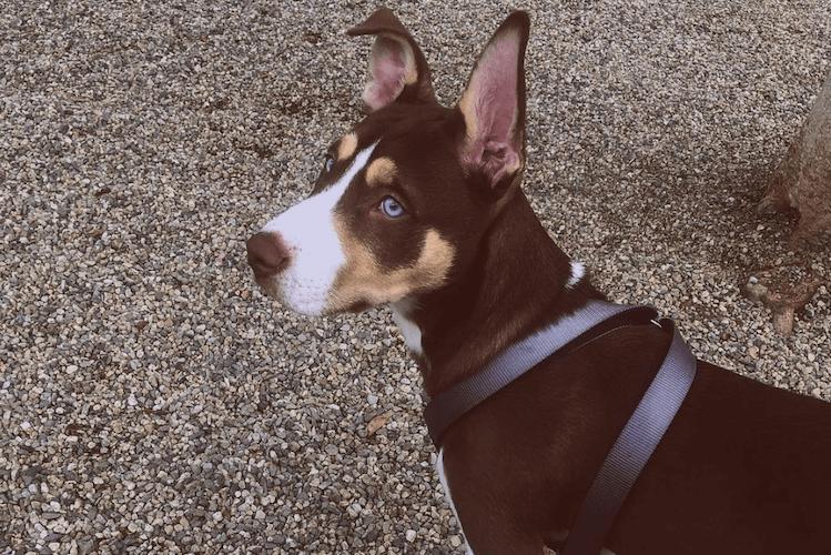 Pitsky Dog
