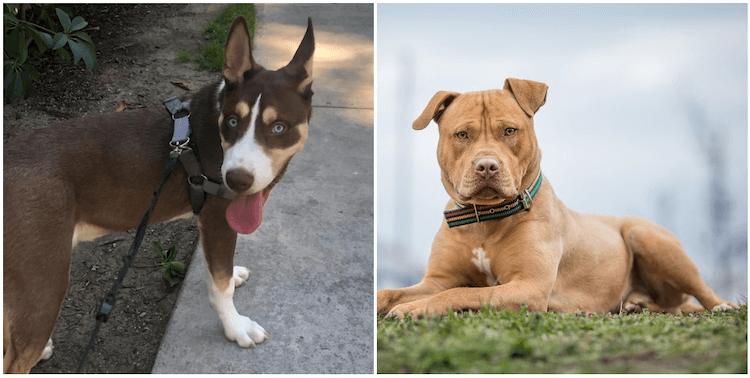 Pitsky and Pit Bull Dogs