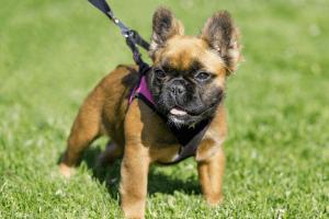 long-haired French Bulldog
